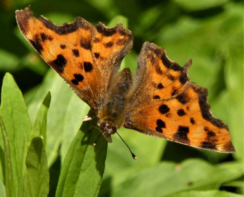 Comma butterfly in Dittiscombe valley
