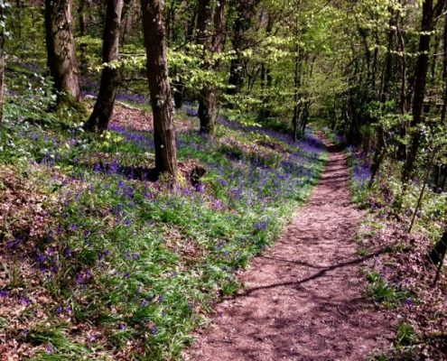 Bluebell woods South Devon